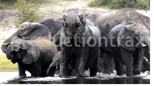 Elephants Splashing Around